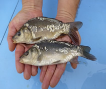 Gudgeon are bottom feeding fish that rarely grow bigger than several ounces but can be useful for helping to clear the bottom of pools by feeding on detritus.