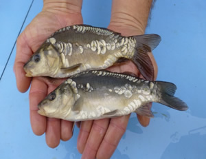 Mirror & common carp
